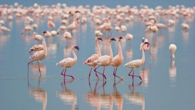 Pink flamingos conquered a lake near Burgas